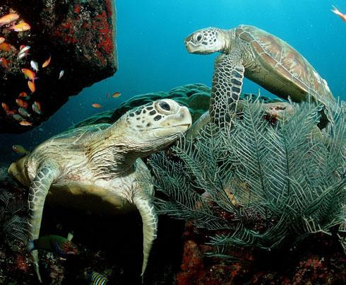 Hawaiian Green Sea Turtle - Honu