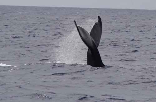Humpback whale tail - Kauai Hawaii