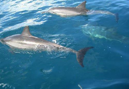 Spinner dolphins - Kauai, Hawaii