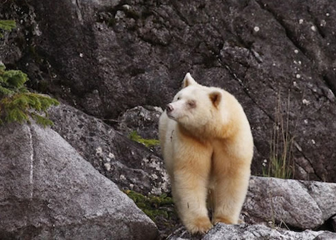 The Rare Kermode Sea Bear of British Columbia - Canada