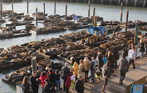California Sea Lions - Pier 39, San Francisco